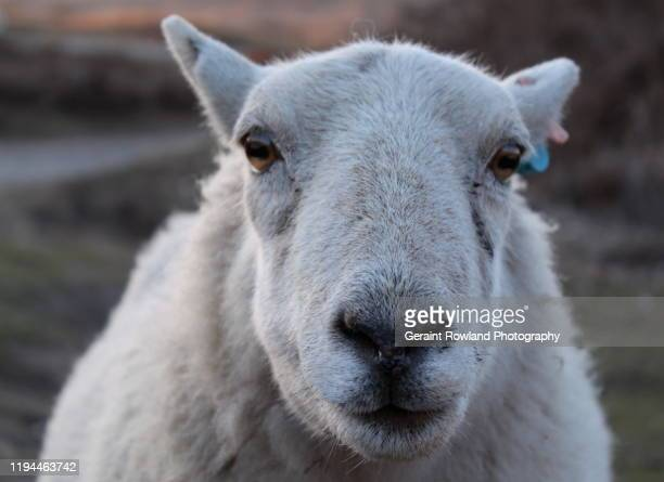 portrait of a welsh sheep - newport wales photos stock pictures, royalty-free photos & images