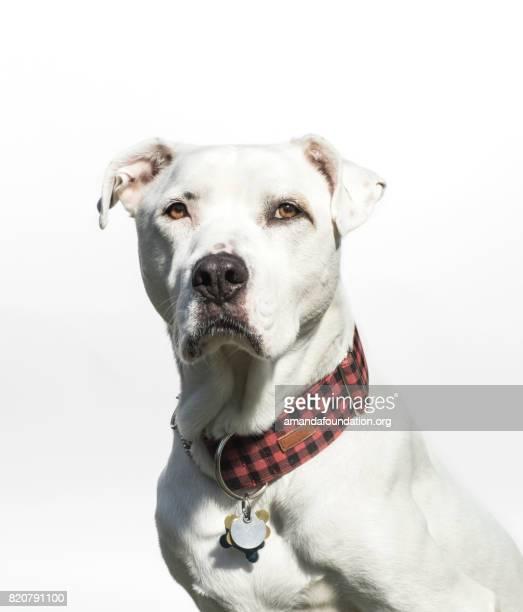 Porträt von einem weißen American Bulldog