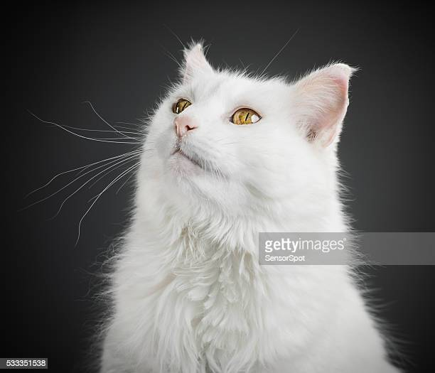 Portrait of a white cat with yellow eyes.