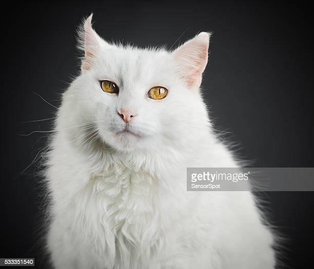 Retrato de un gato blanco con ojos amarillos.