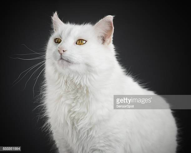 portrait of a white cat with yellow eyes. - domestic animals stock pictures, royalty-free photos & images