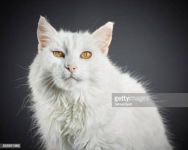 Porträt von einem weißen Katze mit gelben Augen.