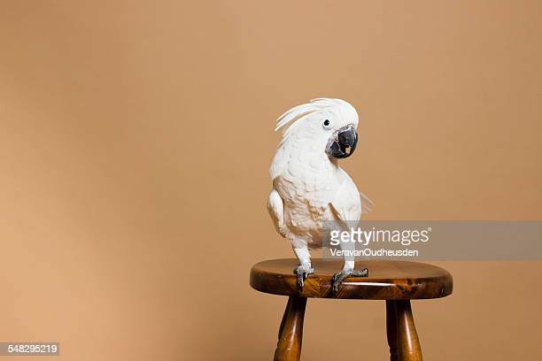 portrait of a white crested cockatoo - parrot stock pictures, royalty-free photos & images