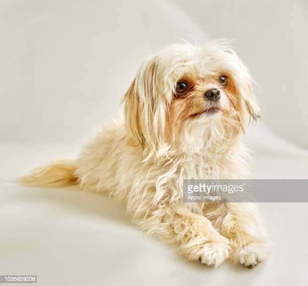 portrait of a white dog, mixed breed - animal hair stock pictures, royalty-free photos & images