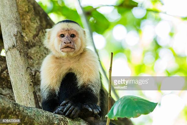 Portrait of a white faced capuchin