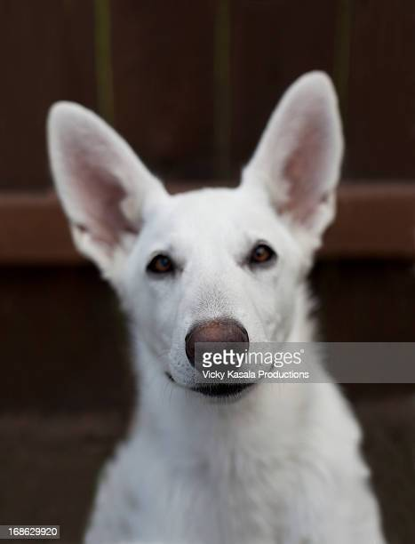 Portrait of a white haired German Shepherd puppy.