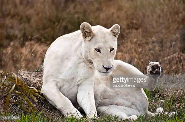 L'Afrique du Sud, Le Cap-Occidental, White lion femme assise sur l'herbe
