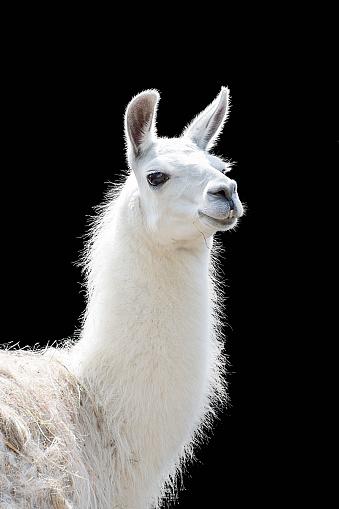Portrait of a white llama Lama glama 1124628068