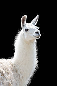 Portrait of a white llama Lama glama