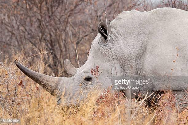 Portrait of a white rhinoceros (Ceratotherium simum simum)