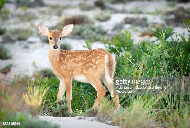 Portrait of a White Tailed Deer Fawn at Fire Island National Seashore