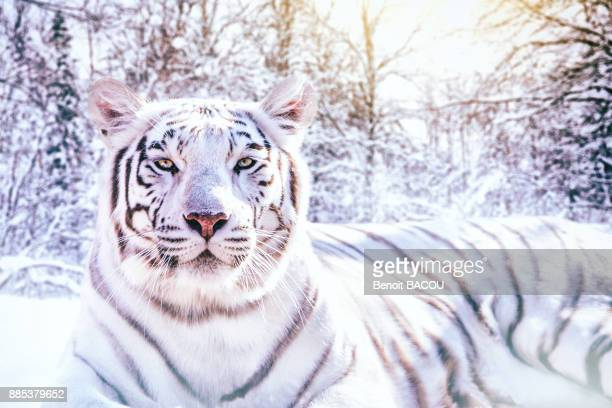 portrait of a white tiger in the snowy forest (composite picture). - white tiger stock photos and pictures