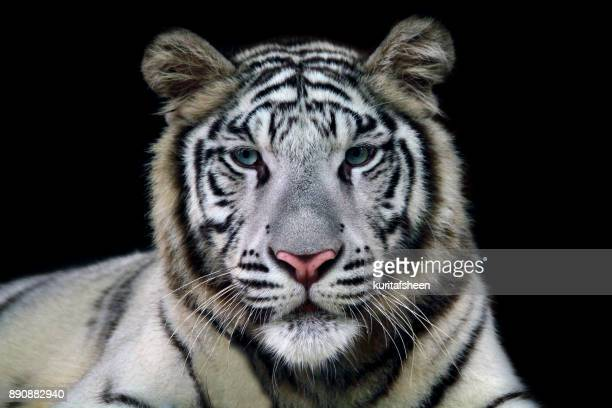 portrait of a white tiger - big cat stock pictures, royalty-free photos & images
