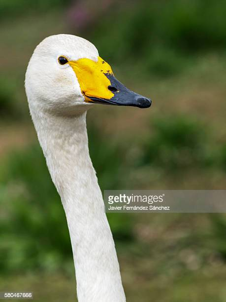 portrait of a whooper swan with its long neck. cygnus cygnus. - long neck animals stock pictures, royalty-free photos & images