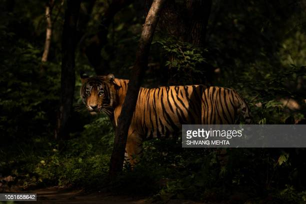 portrait of a wild bengal tiger in india - ranthambore national park stock pictures, royalty-free photos & images