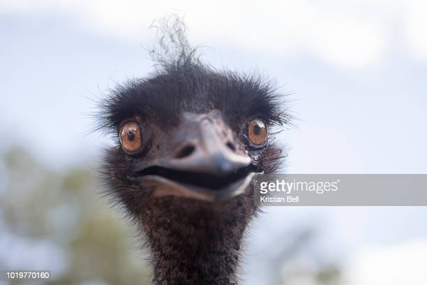 A portrait of a wild, female Emu (Dromaius novaehollandiae) in Australia