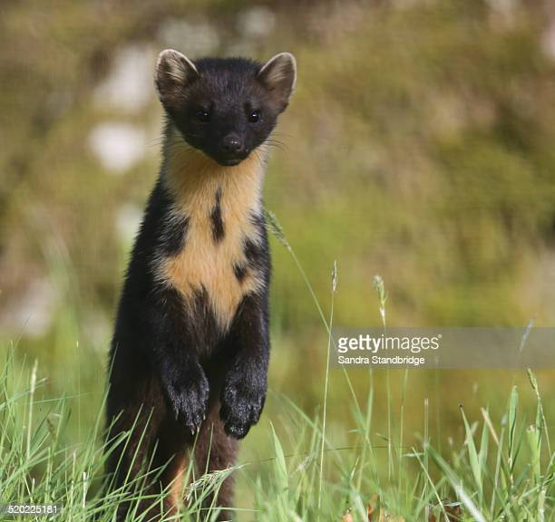 a portrait of a wild pine marten - pine marten stock pictures, royalty-free photos & images