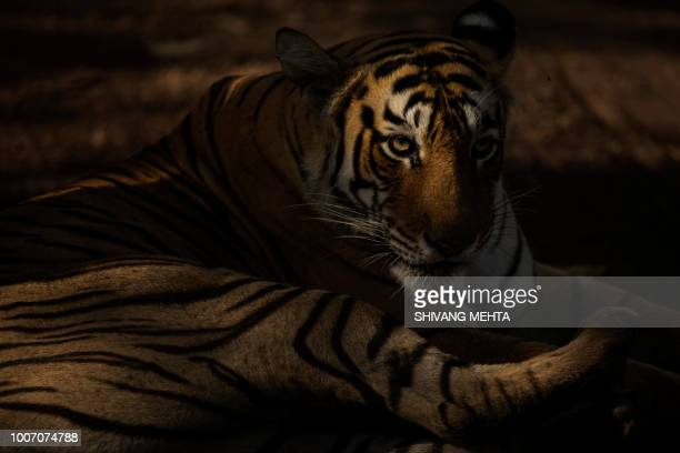 portrait of a wild tiger - ranthambore national park stock pictures, royalty-free photos & images