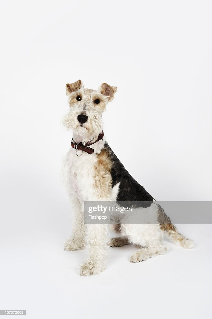 Portrait Of A Wire Haired Fox Terrier Dog Stock Photo | Getty Images