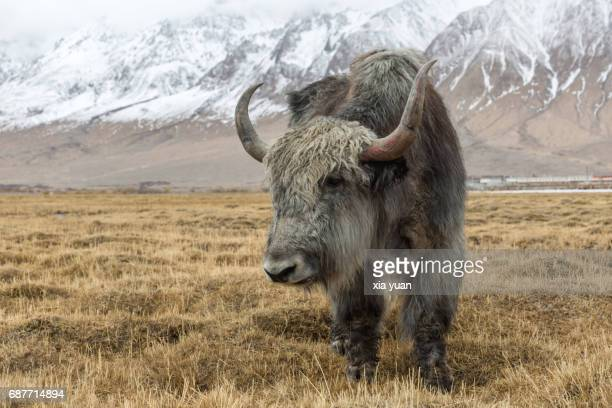 portrait of a yak on grassy field,tashkurgan,china - wild cattle stock photos and pictures