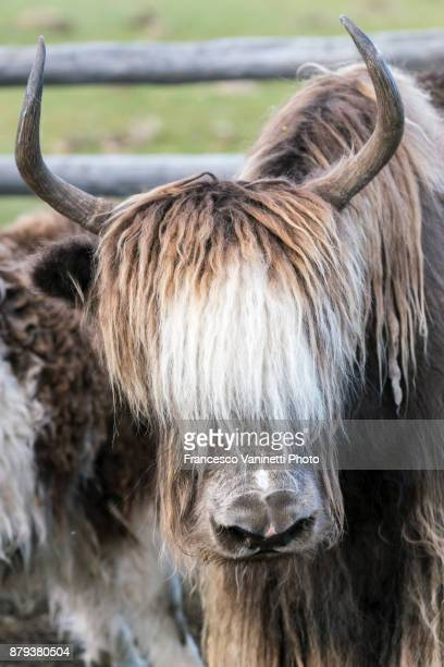 Portrait of a yak with horns. Hovsgol province, Mongolia.