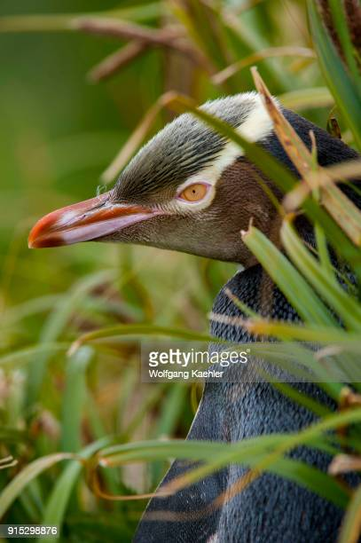 Portrait of a Yelloweyed penguin on Enderby Island a subAntarctic Island in the Auckland Island group New Zealand