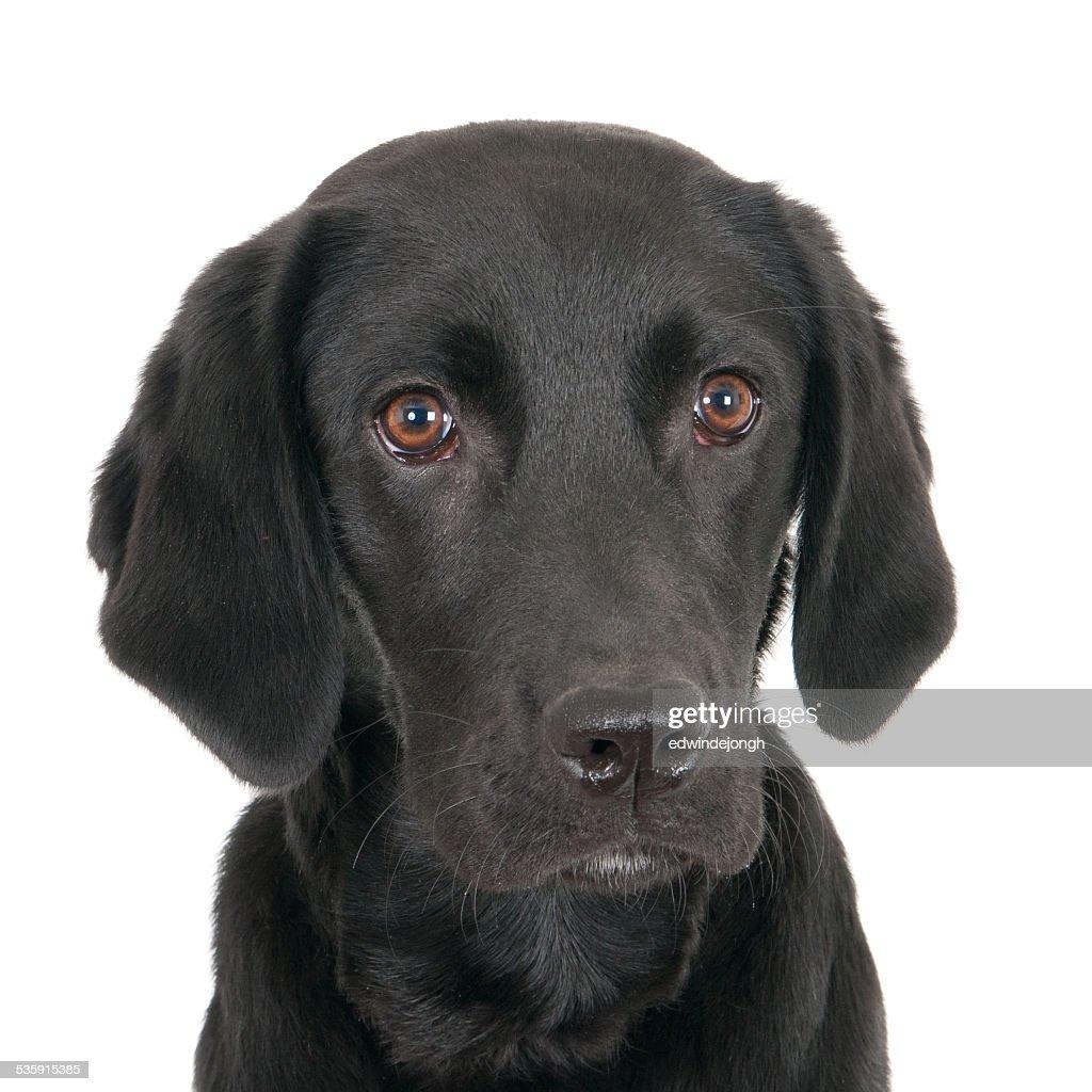 Retrato de un joven labrador negro : Foto de stock