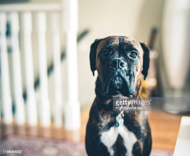 portrait of a young boxer dog - boxer dog stock pictures, royalty-free photos & images