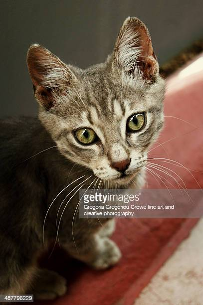 portrait of a young cat - gregoria gregoriou crowe fine art and creative photography stock-fotos und bilder