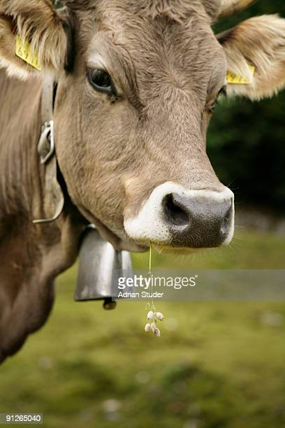 Portrait of a young cow