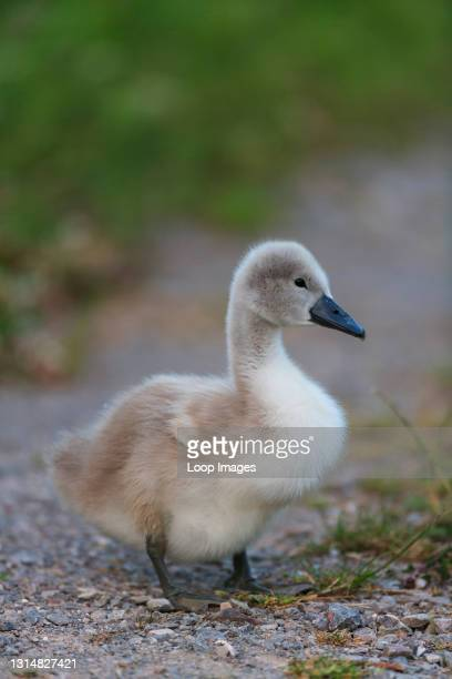 Portrait of a young Cygnet Mute Swan.