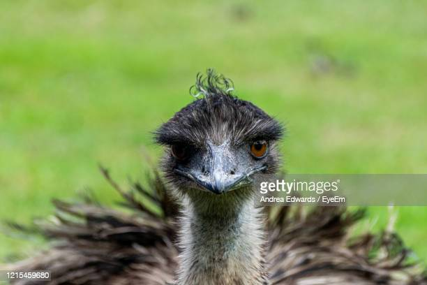 portrait of a young female emu, dromaius novaehollandiae - long neck animals stock pictures, royalty-free photos & images