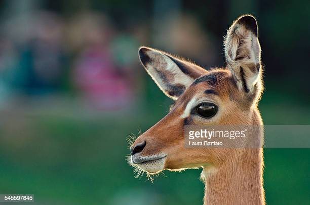 Portrait of a young impala