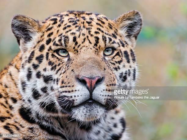 Portrait of a young male jaguar