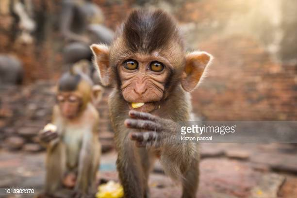 portrait of a young monkey in a temple in asia looking at camera during day - animals in the wild stock pictures, royalty-free photos & images