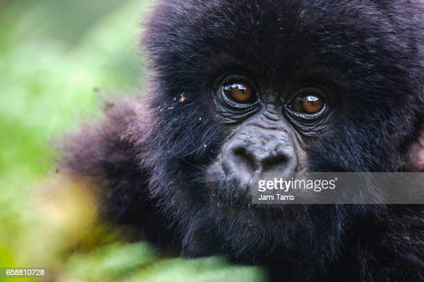 portrait of a  young mountain gorilla baby - rwanda stock pictures, royalty-free photos & images