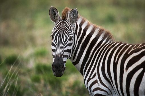 Portrait of a zebra. Close-up. Kenya. Tanzania. 666385260