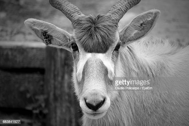 Portrait Of Addax At Zoo