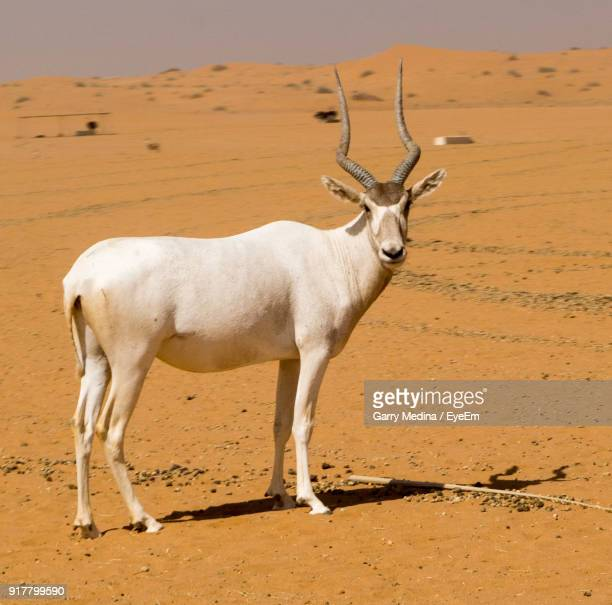 Portrait Of Addax Standing At Desert During Sunny Day