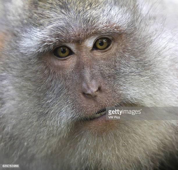 Portrait of Adult CrabEating Macaque Monkey Ubud Monkey Forest Bali Indonesia