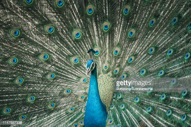 portrait of adult male peacock displaying dolorful feathers, close up portrait of an adult male peacock showing his feathers - pheasant tail feathers stock pictures, royalty-free photos & images
