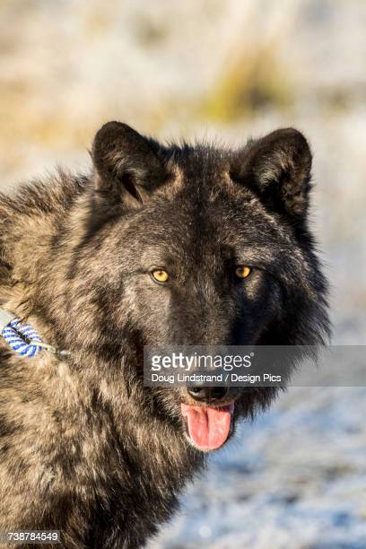 Portrait of adult male wolf (Canis lupus) with tongue out, captive at Alaska Wildlife Conservation Center