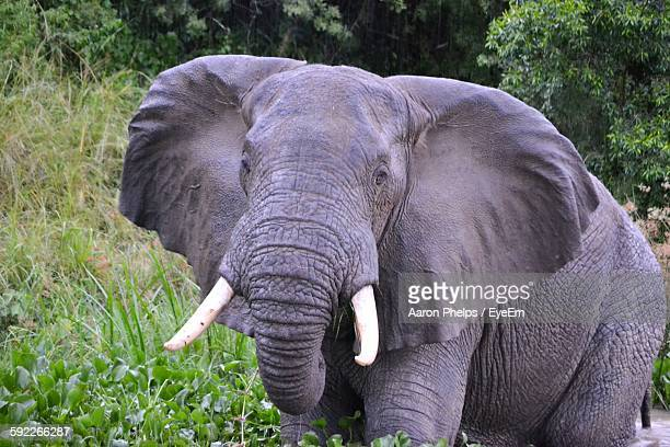 Portrait Of African Elephant Amidst Plants In Forest