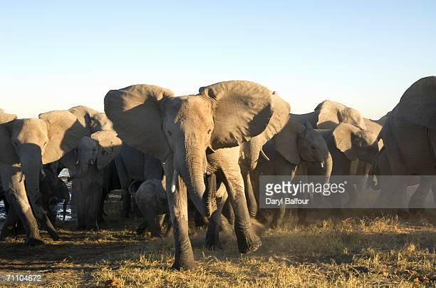 portrait of african elephant (loxodonta africana) herd stampeding - stampeding stock pictures, royalty-free photos & images