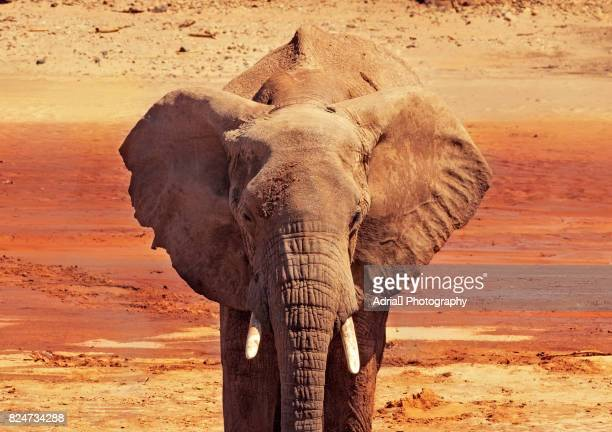 portrait of african elephant - elephant head stock-fotos und bilder