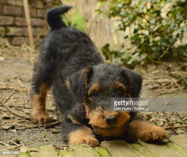 Portrait Of Airedale Terrier Puppy In Back Yard