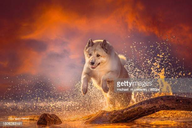 portrait of akita running in lake against sky during sunset,balloch,united kingdom,uk - atmospheric mood stock pictures, royalty-free photos & images