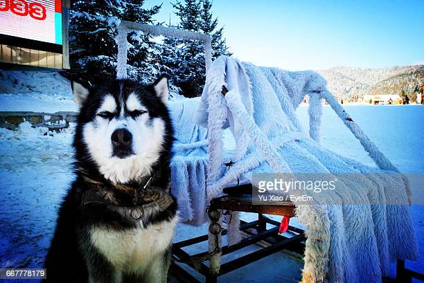 portrait of alaskan malamute sitting on snow covered field - malamute stock pictures, royalty-free photos & images
