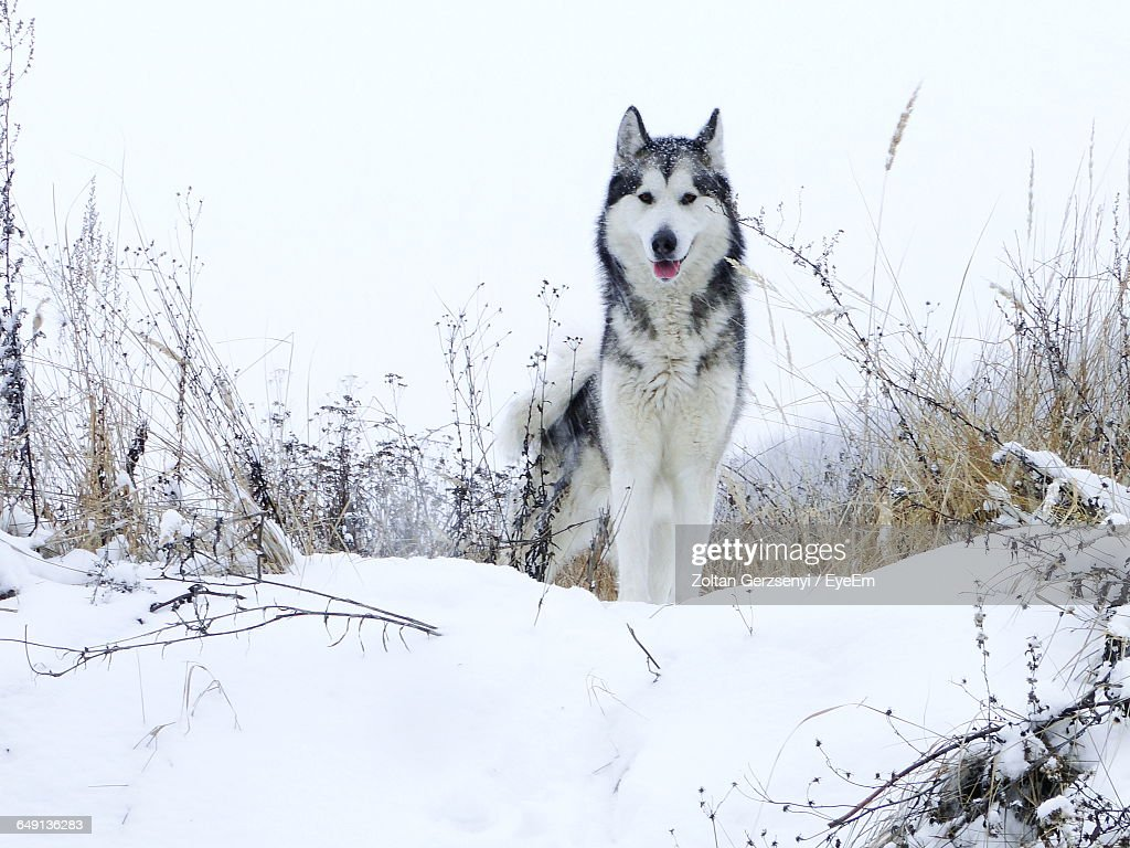 Portrait Of Alaskan Malamute Standing On Snowy Field Against Clear Sky : Stock Photo