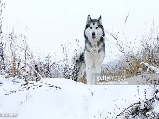 portrait of alaskan malamute standing on snowy field against clear sky - malamute stock pictures, royalty-free photos & images